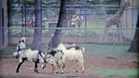 1971: Goats locking horns to see who the bigger goat is Footage