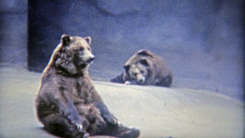 1973: Grizzly brown bears bored in a tiny habitat at the zoo Footage