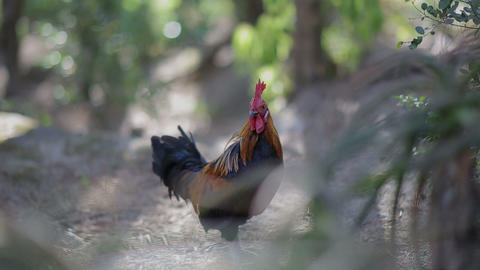 Rooster Ginger Black Cock At Beautiful Green Reserve stock footage