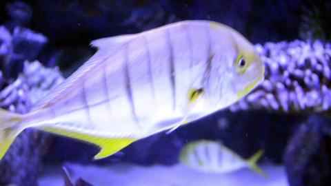 Fish Beautiful In A Saltwater Aquarium stock footage
