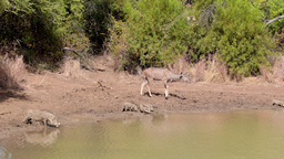 Antelopes drinking by the water Footage