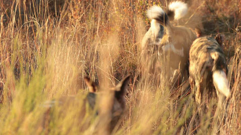 Hyenas playing in the long grass Footage