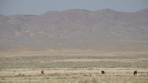 Right Pan of Free Range Cattle in the Desert Footage