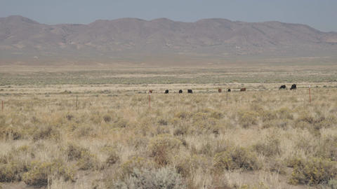Zoom In On Free Range Cattle In The Desert stock footage