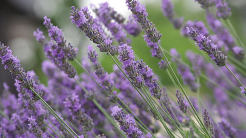 Bush of the blossoming lavender close up Footage