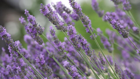 Bush of the blossoming lavender close up Stock Video Footage
