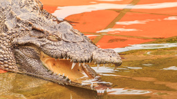 closeup side view of crocodile's head with open jaw in park Live Action