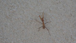 Brown Mantis climbs up a wall Footage