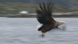 White-tailed Eagle catching a fish out of the water Footage