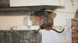 Gray langur sitting on the roof Footage