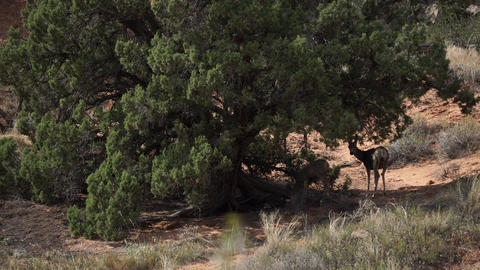Deer Rest in the Shade at Arches National Park Footage