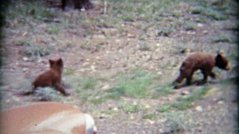 1965: Baby grizzly brown bear cub climbs a tree when scared with mother Footage