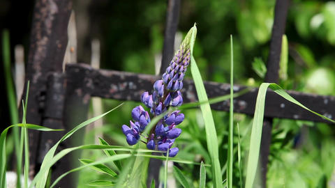 Flowers blue lupine Stock Video Footage