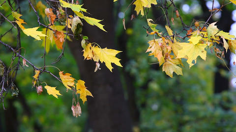 Yellow maple leaves trembling on the wind Stock Video Footage