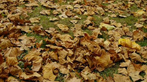 falling golden leaves full on ground Footage