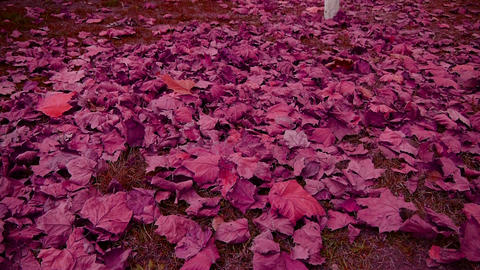 falling purple leaves full on ground Footage