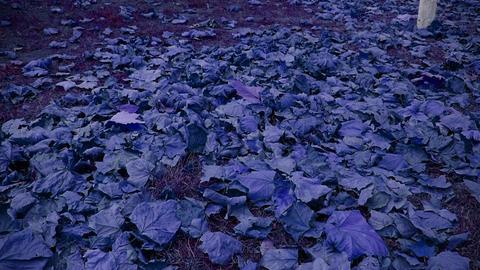 falling purple leaves full on ground Footage
