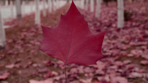 A red leaf in the woods,shaking in the wind,Forest as... Stock Video Footage