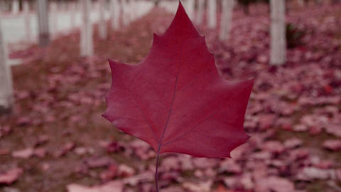 A red leaf in the woods,shaking in the wind,Forest as background Footage