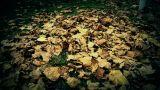 falling maple leaves full on ground Footage