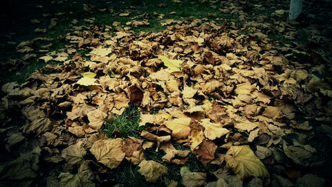 falling maple leaves full on ground Stock Video Footage