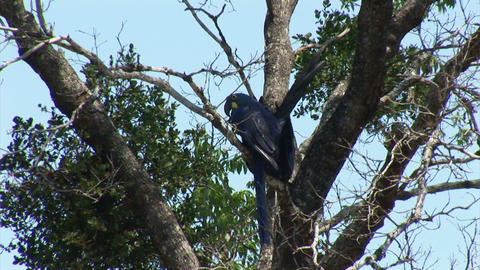 Brazil: blue parrots (Lear's Macaw) Stock Video Footage