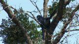 Brazil: blue parrots (Lear's Macaw) Footage