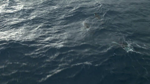 South Georgia: dolphins in a sea 1 Stock Video Footage