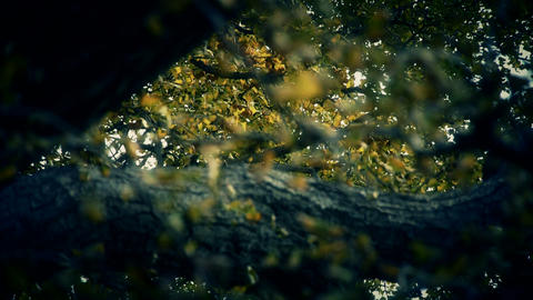 lush ginkgo tree in breeze,Autumn,forest,woods Stock Video Footage