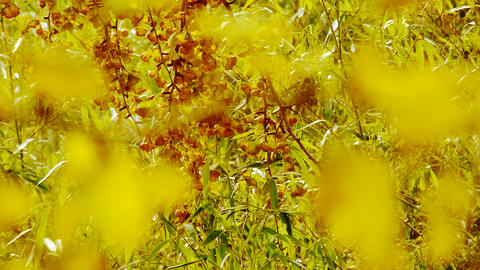 lush ginkgo tree and bamboo in breeze,Autumn,forest,woods Stock Video Footage