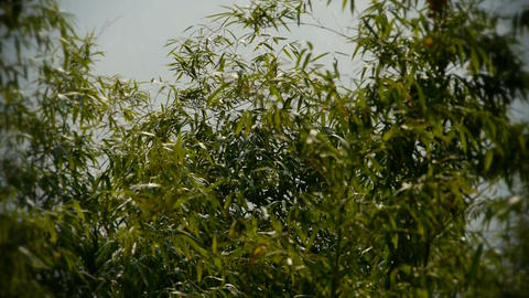 wind shaking bamboo,quiet atmosphere in sunshine Footage