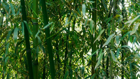 wind shaking bamboo,quiet atmosphere in sunshine Stock Video Footage