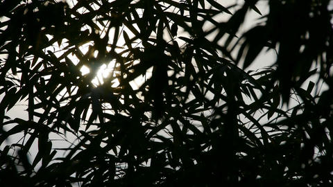 wind shaking bamboo silhouette,quiet atmosphere in sunshine Stock Video Footage