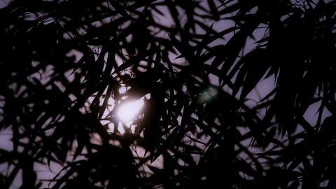 wind shaking bamboo silhouette,sunrise,sunset,sunshine Stock Video Footage