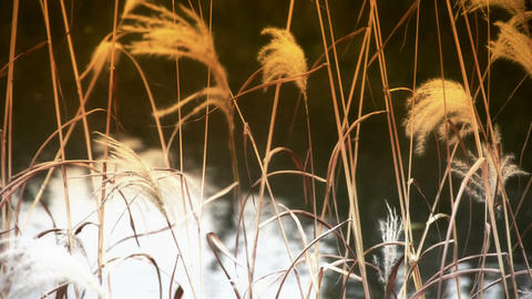 river reeds in wind,shaking wilderness,reflection,Hazy style Stock Video Footage