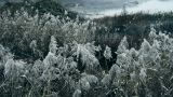 river reeds in wind,shaking wilderness,Black and white style Footage