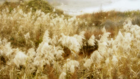 river reeds in wind,shaking wilderness,bright sunshine,sunset,sunrise Footage