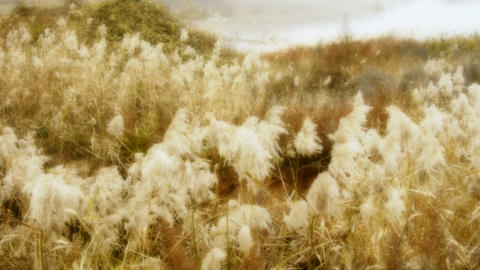 river reeds in wind,shaking wilderness,bright... Stock Video Footage