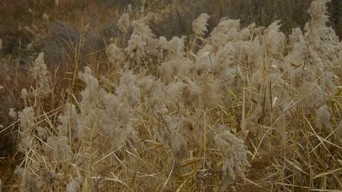 river reeds in wind,shaking wilderness Stock Video Footage