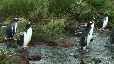 South Georgia: penguins walking in a river 1 Stock Video Footage