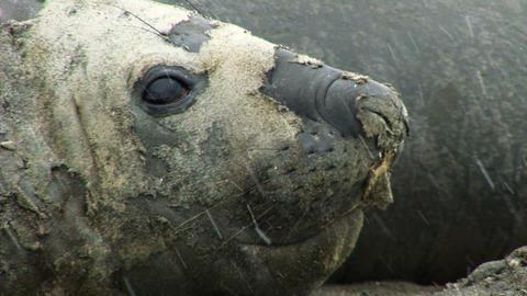 South Georgia: sea elephant 2 Stock Video Footage