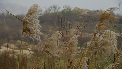 river reeds in wind,shaking wilderness,mountain,hill Stock Video Footage