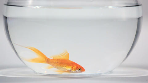 Goldfish in bowl Stock Video Footage
