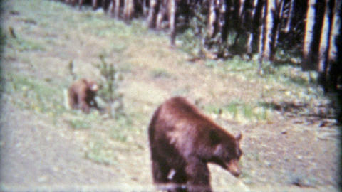 1961: Grizzly bear mom and young cubs on side of road Footage
