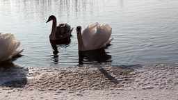 Swimming Swans stock footage