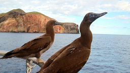 Curious Birds, Blue-footed Boobies On A Yacht Off The Island Of Socorro In The P stock footage