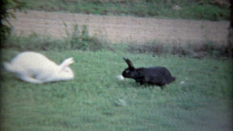 1963: White bunny meets black bunny and chases other away Footage