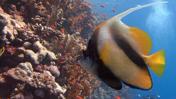 Red Sea Bannerfish Over The Coral Reef In The Red Sea stock footage