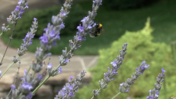 Bees Collecting Nectar From Lavender Flowers In The City Garden Of Krasnodar, Ru stock footage