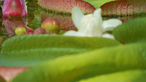 Macro Shot of Giant Water Lilies Footage